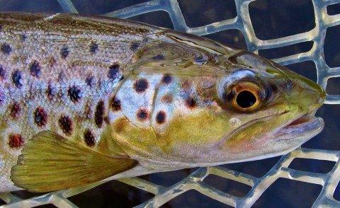 2017 11 28 Close up of wild brown trout Meander River