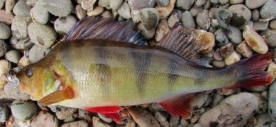 merseylea-2014-11-16-d-redfin-perch-mersey-river