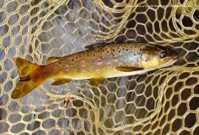 Golden colours Wild brown trout Meander River