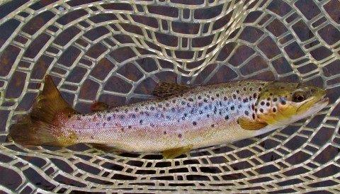 2017 11 10 Brown trout Merseylea