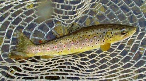 2017 12 01 Great colours in the trout