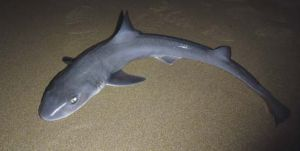 112 burnie shark