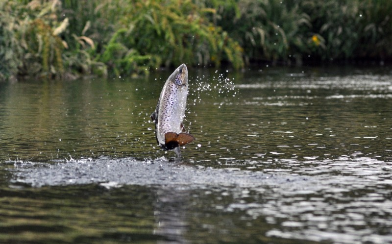 ifs trout jumping