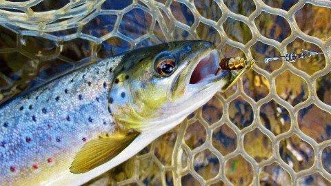 2019 02 26 Close up of brown trout and Mepps Aglia Furia spinner
