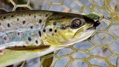 2019 04 01 Bog spinner and Wild brown trout