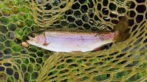 2020 02 03 Small Mersey River wild rainbow trout Weegena